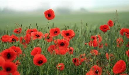In Flanders Fields, by DVM