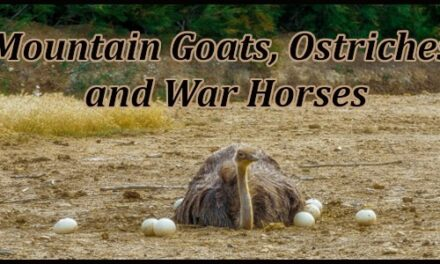 """""""Mountain Goats, Ostriches, and War Horses"""" Job 39, by CountrySlicker"""
